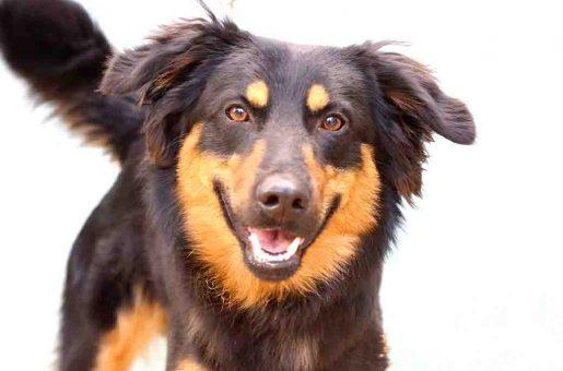 צ'יף כלב לאימוץ אגודת צער בעלי חיים בישראל