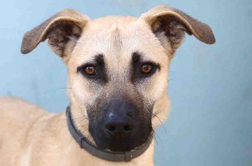 גוצ'י כלב לאימוץ אגודת צער בעלי חיים בישראל