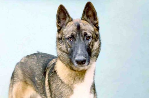גוניור כלב לאימוץ אגודת צער בעלי חיים בישראל