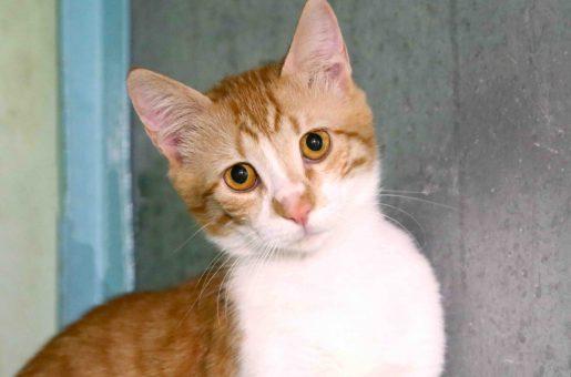 שושו חתול לאימוץ אגודת צער בעלי חיים בישראל
