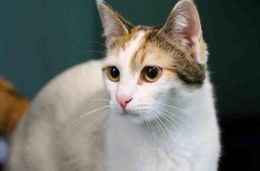 שר חתולה לאימוץ אגודת צער בעלי חיים בישראל