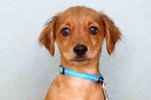 פינוקי כלב לאימוץ אגודת צער בעלי חיים בישראל