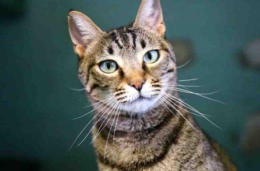 קרמבל חתולה לאימוץ אגודת צער בעלי חיים בישראל