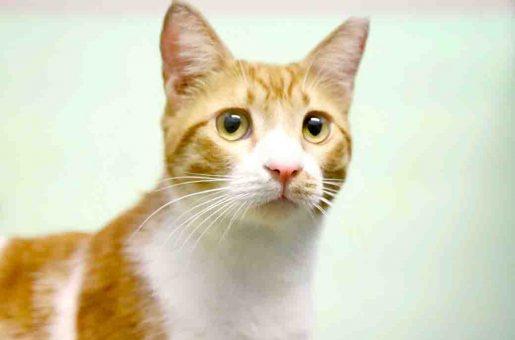 סטיופקה חתול לאימוץ אגודת צער בעלי חיים בישראל