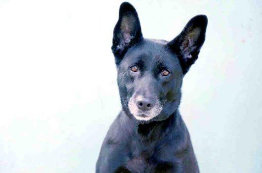 בלאקי כלבה לאימוץ אגודת צער בעלי חיים בישראל