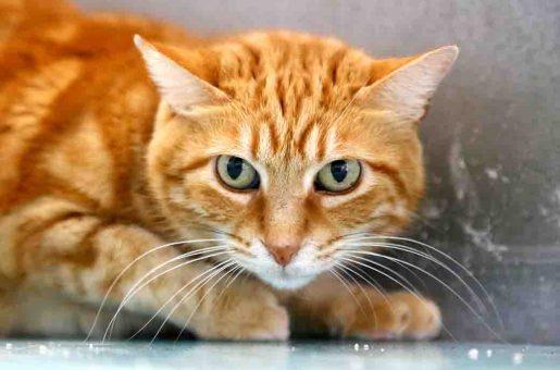 חתולה לאימוץ מצער בעלי חיים בישראל
