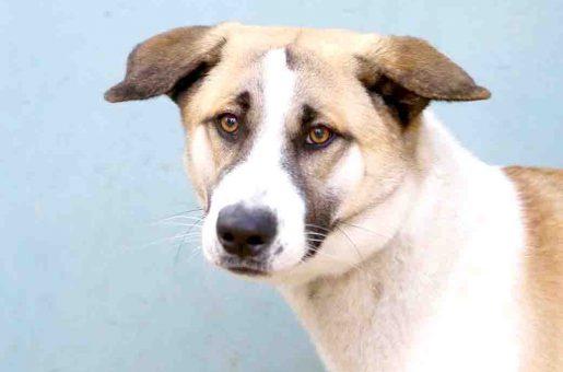 לוקה כלבה לאימוץ אגודת צער בעלי חיים בישראל
