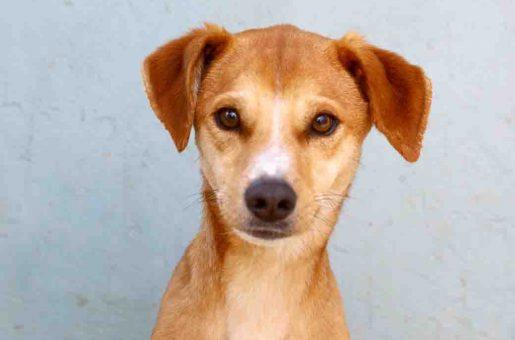 פרב כלב לאימוץ אגודת צער בעלי חיים בישראל