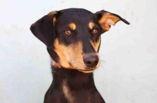 מיקוש כלבה לאימוץ אגודת צער בעלי חיים בישראל