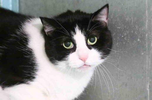 הרה חתולה לאימוץ אגודת צער בעלי חיים בישראל