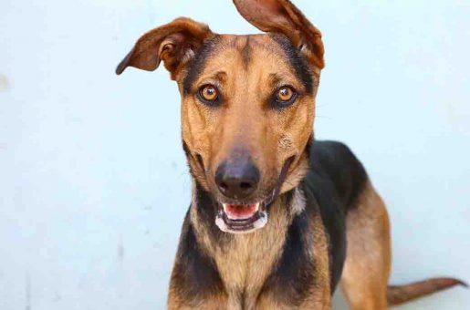מולאן כלבה לאימוץ אגודת צער בעלי חיים בישראל