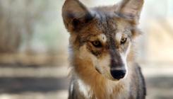 מחאה נגד מימון הריגת זאבים