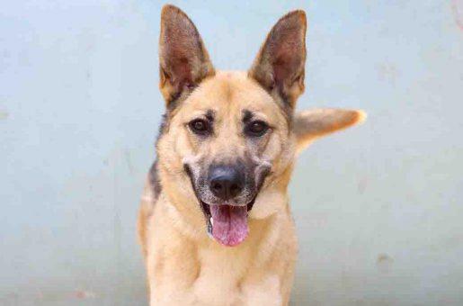 וונדי כלבה לאימוץ אגודת צער בעלי חיים בישראל
