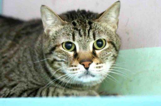 חלווה חתולה לאימוץ אגודת צער בעלי חיים בישראל