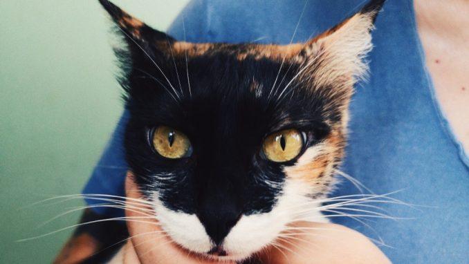 פולי - חתולה לאימוץ - אגודת צער בעלי חיים בישראל
