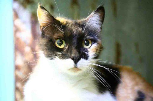 פולי חתולה לאימוץ אגודת צער בעלי חיים בישראל