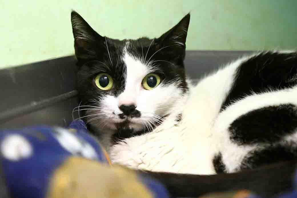 מסיקה חתולה לאימוץ אגודת צער בעלי חיים בישראל