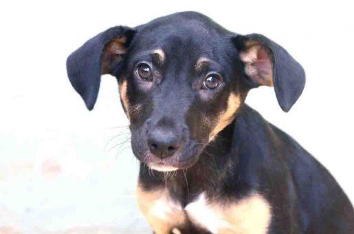 בלאק כלב לאימוץ אגודת צער בעלי חיים