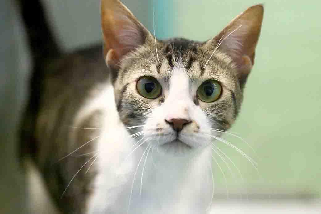 לוקה חתולה לאימוץ אגודת צער בעלי חיים בישראל