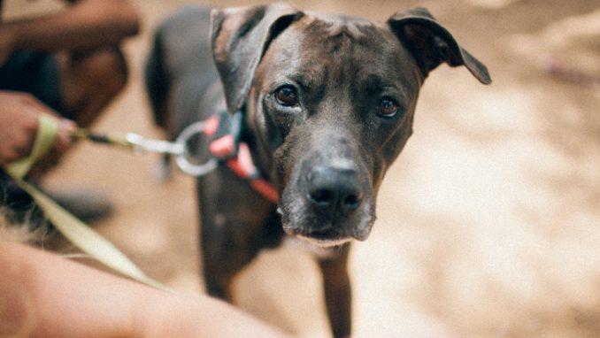 פיט – כלב לאימוץ – אגודת צער בעלי חיים בישראל