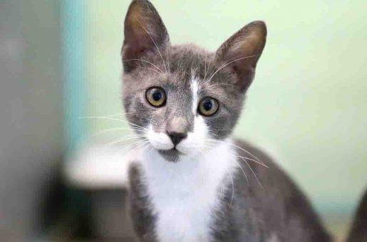פולה חתולה לאימוץ אגודת צער בעלי חיים בישראל