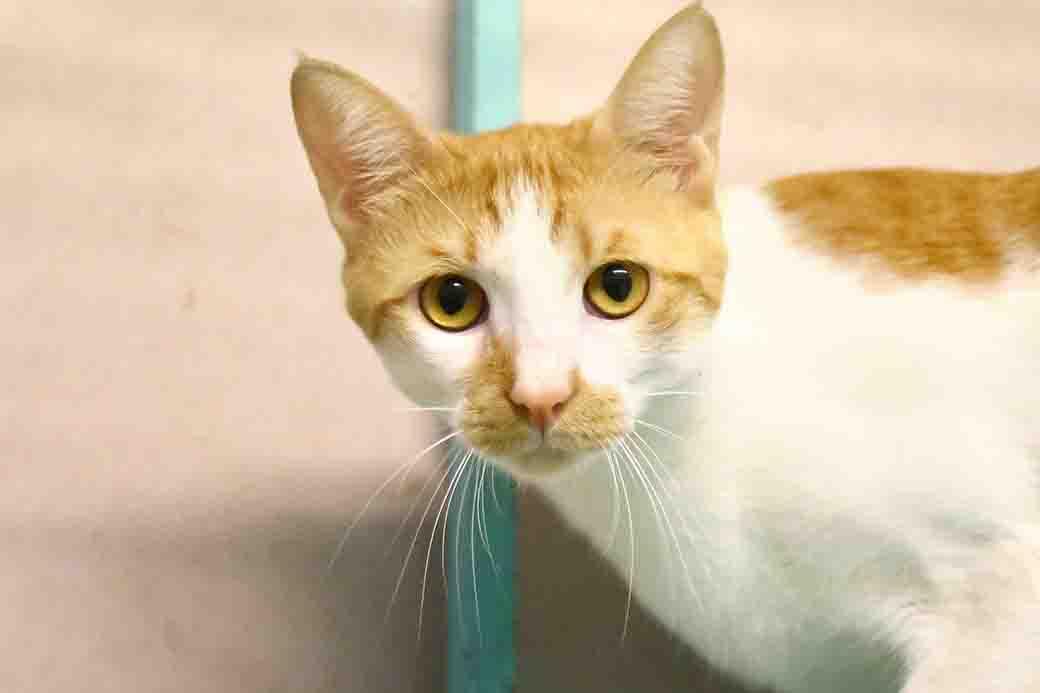 זורו חתול לאימוץ אגודת צער בעלי חיים בישראל
