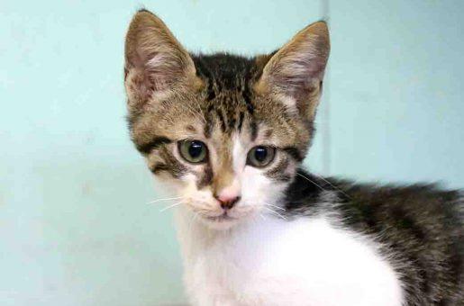 מיסטי חתולה לאימוץ אגודת צער בעלי חיים בישראל