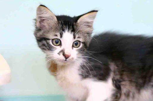 מרקו חתול לאימוץ אגודת צער בעלי חיים בישראל