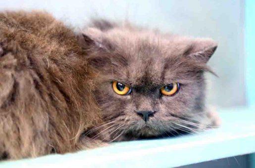 קרלוס חתול לאימוץ אגודת צער בעלי חיים בישראל