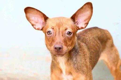 ג'וי כלבה לאימוץ אגודת צער בעלי חיים בישראל