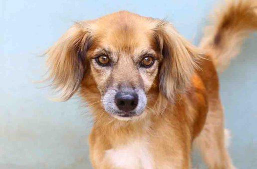 בלו כלב לאימוץ אגודת צער בעלי חיים בישראל