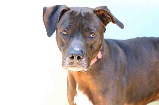 פיט כלב לאימוץ אגודת צער בעלי חיים בישראל