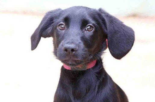 שושקה כלבה לאימוץ אגודת צער בעלי חיים בישראל