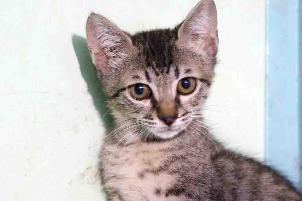 סאני – חתול לאימוץ – אגודת צער בעלי חיים בישראל