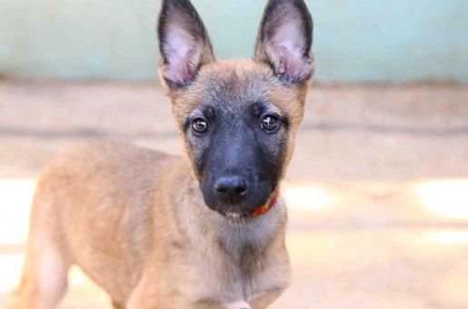 דאמה כלבה לאימוץ אגודת צער בעלי חיים בישראל