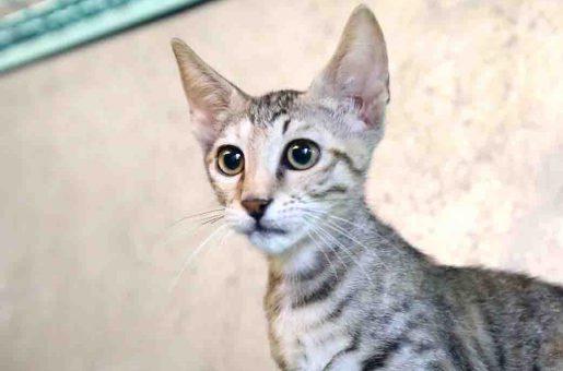 קסניה חתולה לאימוץ אגודת צער בעלי חיים בישראל