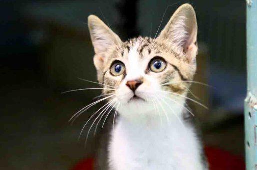 פייט – חתול לאימוץ – אגודת צער בעלי חיים בישראל