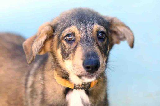 דוכסית כלבה לאימוץ אגודת צער בעלי חיים בישראל