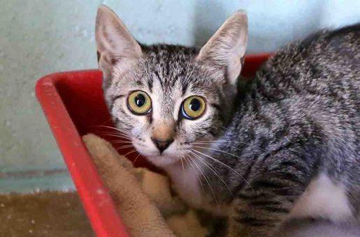 חזי חתול לאימוץ אגודת צער בעלי חיים בישראל