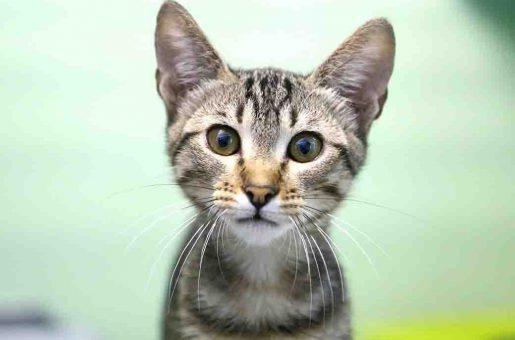 אוליבר – חתול לאימוץ – אגודת צער בעלי חיים בישראל