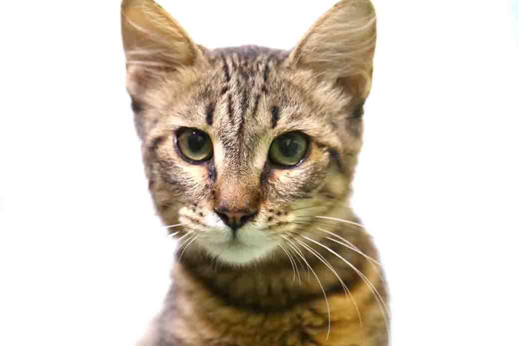 אוליביה – חתולה לאימוץ – אגודת צער בעלי חיים בישראל