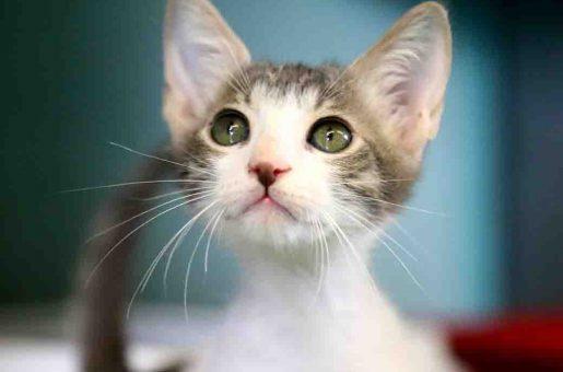 מוטי – חתול לאימוץ – אגודת צער בעלי חיים בישראל