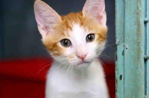 בובי – חתול לאימוץ – אגודת צער בעלי חיים בישראל