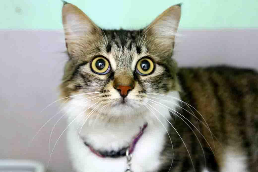 מקס חתול לאימוץ אגודת צער בעלי חיים בישראל