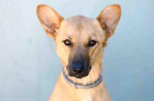 לולה כלבה לאימוץ אגודת צער בעלי חיים בישראל