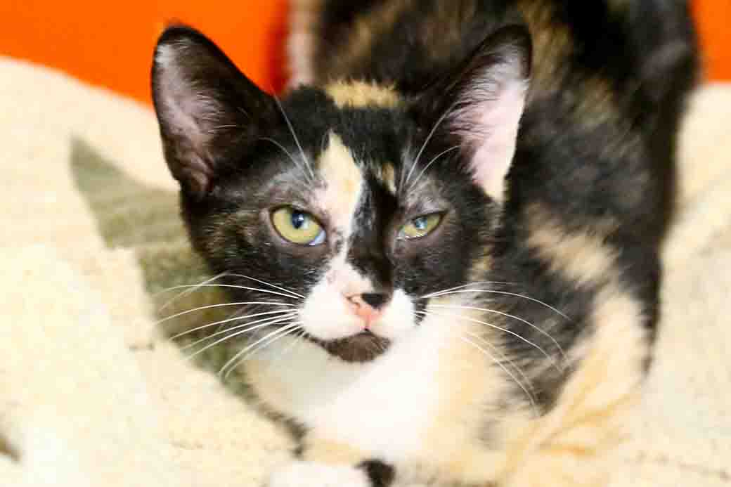 שוש – חתולה לאימוץ – אגודת צער בעלי חיים בישראל