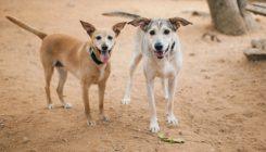 מרגו ומוניק - כלבות לאימוץ - אגודת צער בעלי חיים בישראל