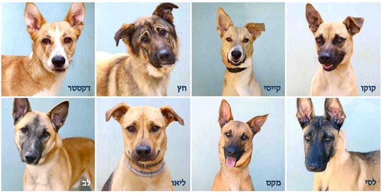 כלבי רועים לאימוץ - אגודת צער בעלי חיים בישראל