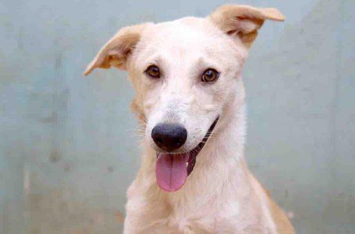 פנקייק כלב לאימוץ אגודת צער בעלי חיים בישראל