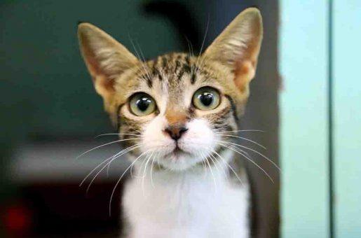 ממבה חתולה לאימוץ אגודת צער בעלי חיים בישראל